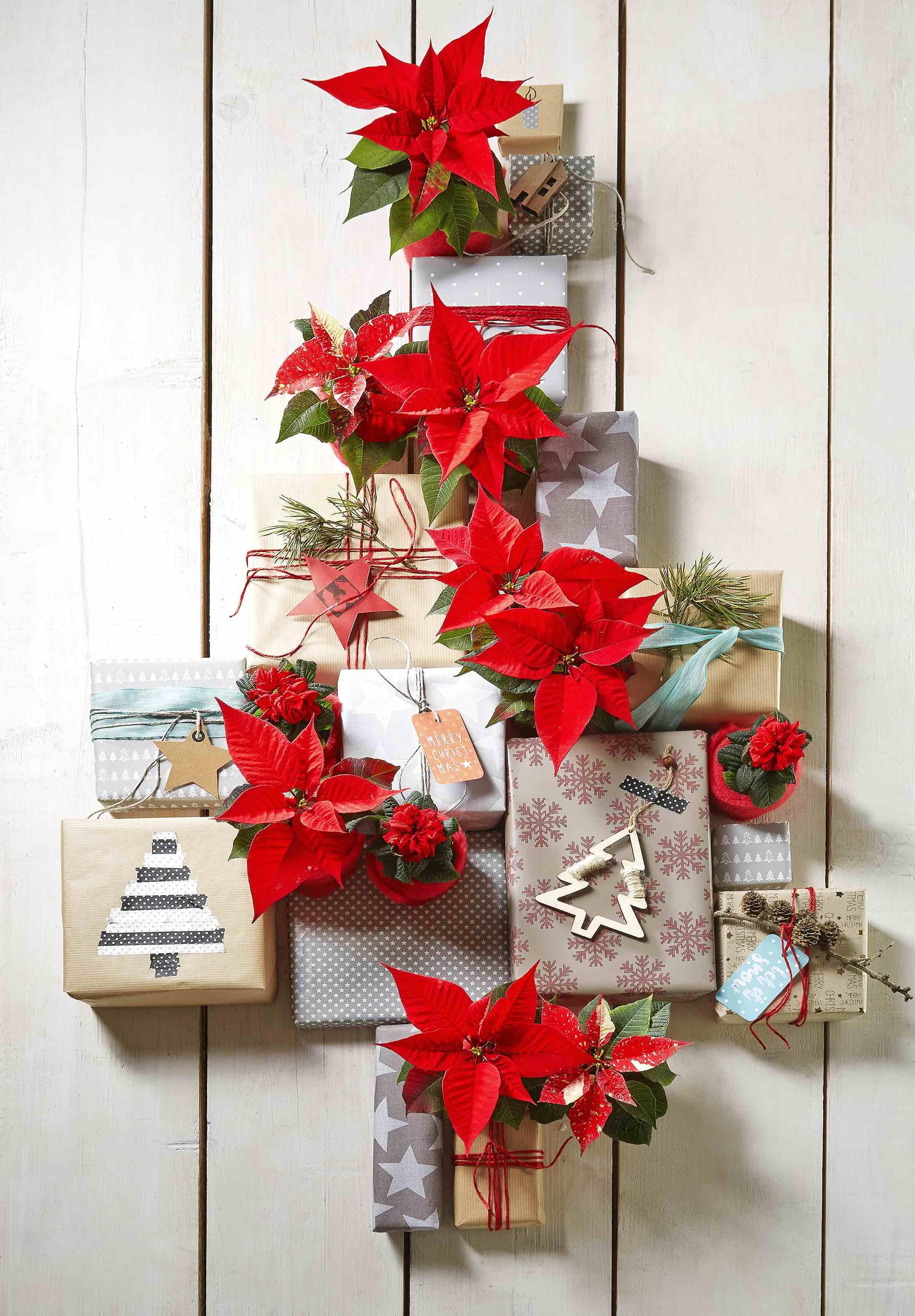 Cura Della Stella Di Natale.La Star Dell Inverno Prendersi Cura Della Stella Di Natale O