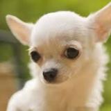 Cani piccola taglia: il Chihuahua, caratteristiche e alimentazione