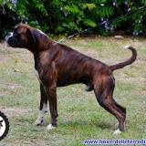Allevamento boxer delle Terre di Sicilia sitoweb on line