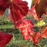 Cori: Cantine Aperte a San Martino.  Domenica 15 Novembre la Tenuta Pietra Pinta accoglie gli enonauti col suo Novello