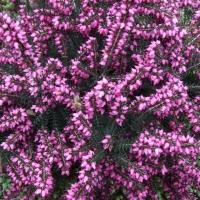 Le proprietà immunomodulanti dei fiori di erica
