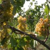 LUGANA doc: la storia di un vino
