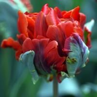 I Tulipani Olandesi Più Belli del Pianeta