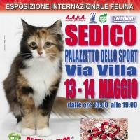 I GATTI PIU' BELLI DEL MONDO in passerella a SEDICO (Belluno) nell'Esposizione Internazionale Felina