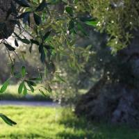 Le proprietà benefiche dell'olio extravergine d'oliva