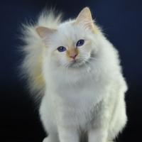 I gatti più belli del mondo in mostra a Pisa: tra due weekend!