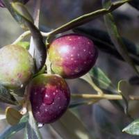 Valorizzazione e promozione della cultivar Itrana: il nuovo progetto del CAPOL co-finanziato dall'ARSIAL verrà realizzato nel Comune di Roccasecca dei Volsci