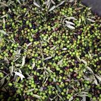 Al via la raccolta delle olive: buone previsioni per la terra d'Arezzo