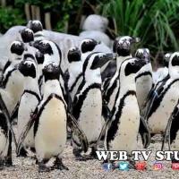 Bioparco di Roma Accoglie i Pinguini del Capo