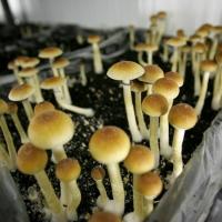 Denver, in Colorado, legalizza i funghi allucinogeni