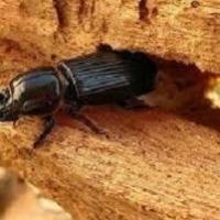 Tarli del legno: scoperto negli Usa il coleottero divoratore più veloce