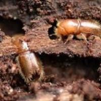 Bostrico Tipografo: il piccolo scarabeo mangia foreste