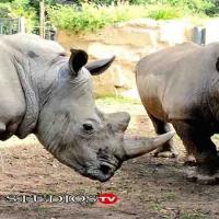 Il Bioparco di Roma Accoglie due Rinoceronti Bianchi Thomas e Kibo