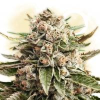 """""""Gorilla Glue"""", una marijuana ibridata particolarmente potente e pericolosa per la mente"""