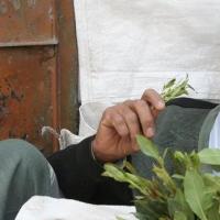 Cos'è il Khat? Una droga economica coltivata in Arabia e in Africa orientale