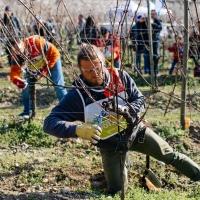 Il 29 Febbraio 2020 in Chianti Classico il 2° Festival del Potatore della vite ideato e organizzato da Simonit&Sirch