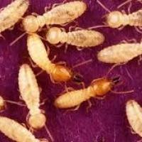 Termite Formosa: dall'Asia un nemico del legno devastante