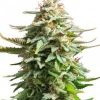 Amnesia, la nuova marijuana