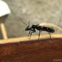Estate: è tempo di invasione delle formiche alate
