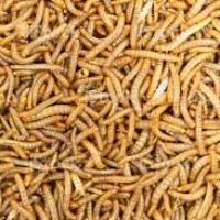 Tenebrio Molitor: il coleottero diventato alimento sicuro per l'uomo