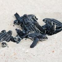 Sea Turtle Countdown Calendar: quando ammirare la nascita delle tartarughe marine ad Aruba, Caraibi