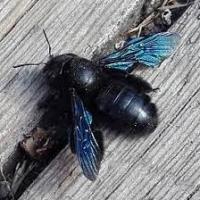 Ape legnaiola: l'insetto estivo dal colore viola